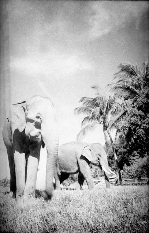 Elephant Old Photo Cambodia