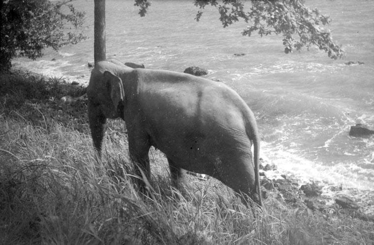 Old Photo of Elephants in Cambodia