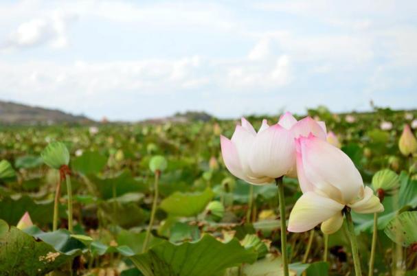 Lotus Fields outside of Siem Reap