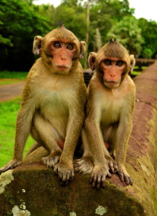 Monkeys at the Angkor Temples