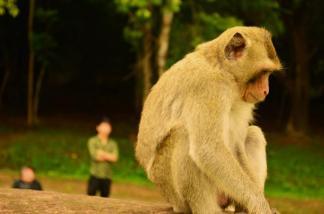 Monkey hanging around Angkor Wat