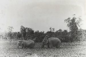 Old Photo of Elephants near Angkor